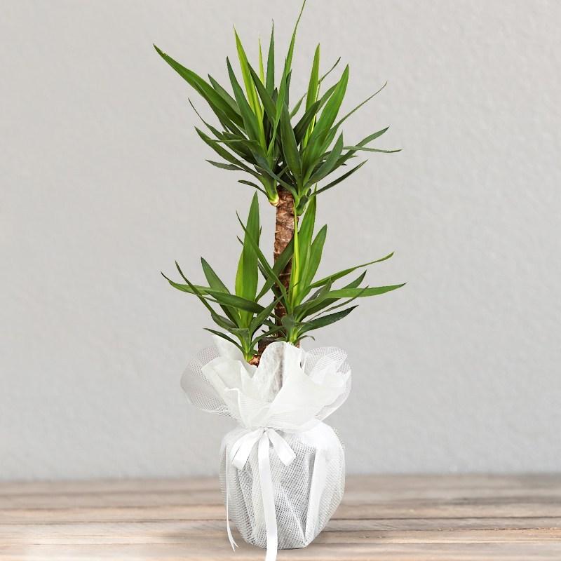İkili Yukka Çiçeği