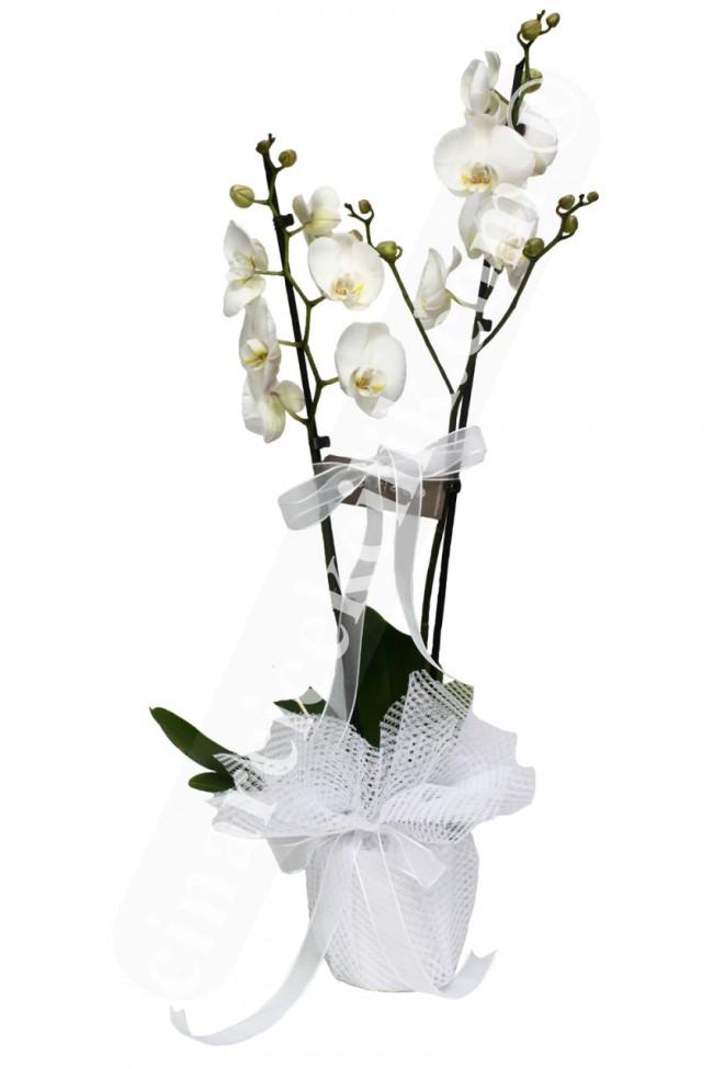 2 li Orkide/ücretsiz teslimat