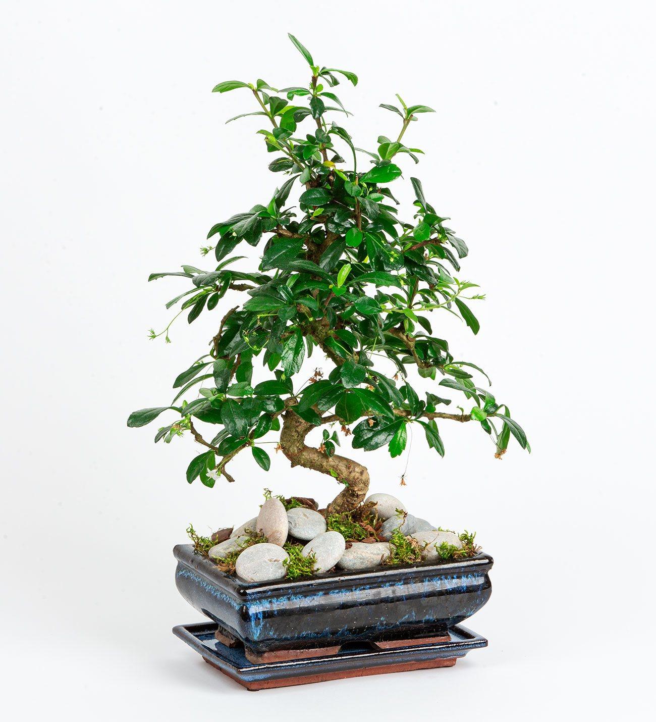 Zelkova Bonsai/ücretsiz servis