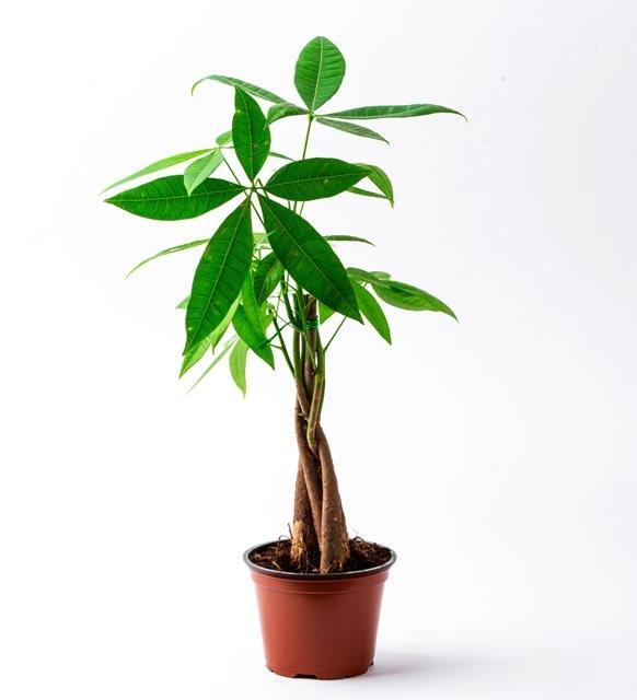 Para Ağacı( pachira) orta boy
